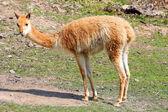 Pretty llama — Stock Photo