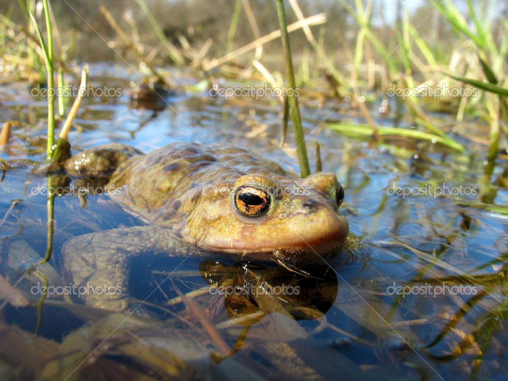 Stock Photo True Toad