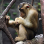 Vervet monkey — Stock Photo #35440027