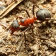 Red Ant — Stock Photo