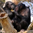 Stock Photo: Two adult chimpanzees diner and talking