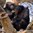 Two adult chimpanzees diner and talking — Stock Photo
