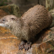 Постер, плакат: Eurasian Otter in ZOO
