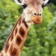 Giraffe's head — Stock Photo