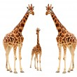 Stock Photo: Three giraffe