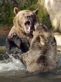 Bears in fight — Stock Photo