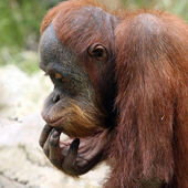 Meditating orangutan — Stock Photo