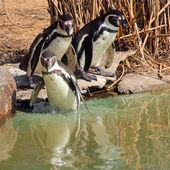 Bather penguins — Stock Photo