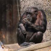 Szympans zoo — Zdjęcie stockowe