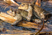 Two toads — Stock Photo