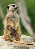 Suricate — Stock Photo