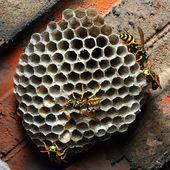 Wasps — Stock Photo
