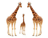 Three giraffe — Stock Photo