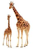 Dvě žirafy — Stock fotografie