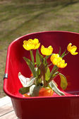 Tulips in wheel barrow — Stock Photo
