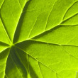 Detail geranium leaf macro — Stock Photo #13076871