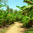 Dirt road through banana plantation Big Corn Island Nicaragua — Stock Photo