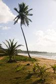 Coconut tree desolate beach long bag corn island nicaragua — Stock Photo