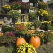 Pumpkins and mums — Stock fotografie
