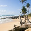 Palm trees undeveloped beach Content Point South End Corn Island — Stock Photo #13400407