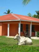 Large farm animal bull on house property big corn island nicarag — Stock Photo