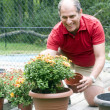 Man gardening planting mums — Stock Photo #13417310