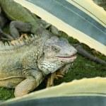Iguana park bolivar guayaquil ecuador — Stock Photo