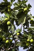 Breadfruit tree — Stock Photo