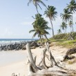 Driftwood coconut palm trees undeveloped beach Corn Island Nicaragua — Stock Photo