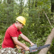 Постер, плакат: Tree surgeon using chain saw fallen tree