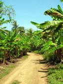 Estrada de terra através de milho grande de banana plantation island nicarágua — Foto Stock