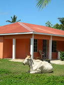 Large farm animal bull on house property big corn island nicaragua — Stock Photo