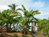 House banana trees corn island nicaragua — Stock Photo