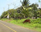 Typowa scena ulica konia na drodze kukurydzy wyspa nikaragui — Zdjęcie stockowe