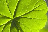 Detail geranium leaf macro — Stock Photo