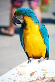 Blue Macaw Parrot — Stock fotografie