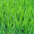 Rice Paddy — Stock Photo #12763496