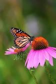 Monarca su echinacea — Foto Stock