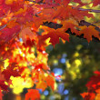 Stock Photo: Autumn Leaves of Indiana