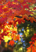 Autumn Leaves of Indiana — Stock Photo
