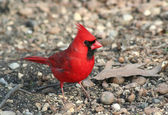 Red Cardinal — Stock Photo