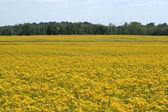 Mustard Field — Stock Photo