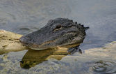 Smiling American Alligator — Stock Photo