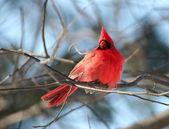 Uccello cardinale rosso albero — Foto Stock