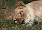 Sad Female Lion with Tears — Foto Stock
