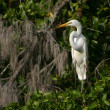 Great White Egret on The Banyan Tree - Stock Photo