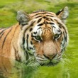 Stock Photo: Amur Tiger in Water