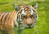 Amur Tiger in Water — Stock Photo