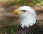 águia careca americana — Foto Stock