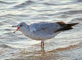 Screaming Seagull — Stock Photo